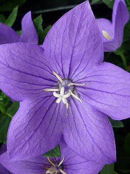Balloon Flower, Bell Shaped, Blue, Blossom, Bloom