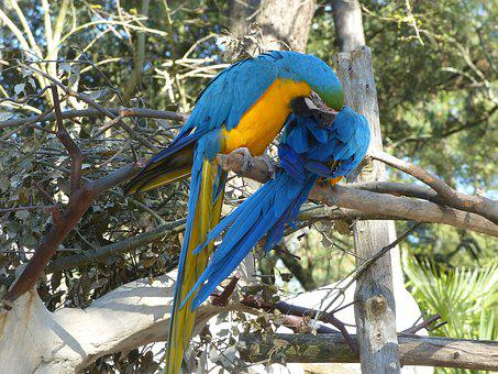 Ara, Blue, Yellow, Blue And Yellow Macaw, Brazilwood