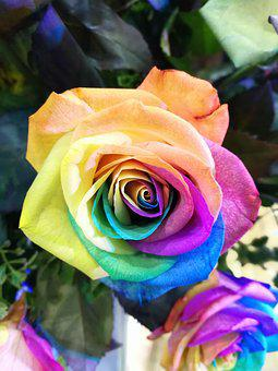Flower, Rainbow Rose, Closeup, Colorful Flower