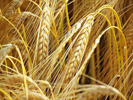 Wheat, Field, Fief, Feuds, Agriculture