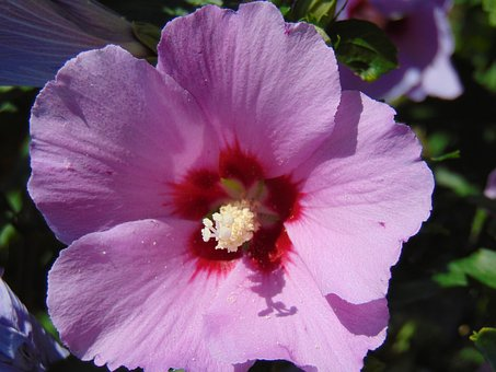 Mallow, Purple, Flower, Garden