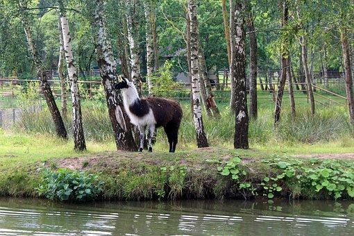 Lama, Nature, Tree, Birch, Freedom
