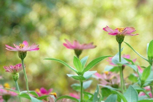 Flower, Indian Blanket Flowers, Garden, Plant, 繽 紛