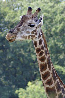 Giraffe, Neck, The Head Of The, Mammal, Animal, Exotic