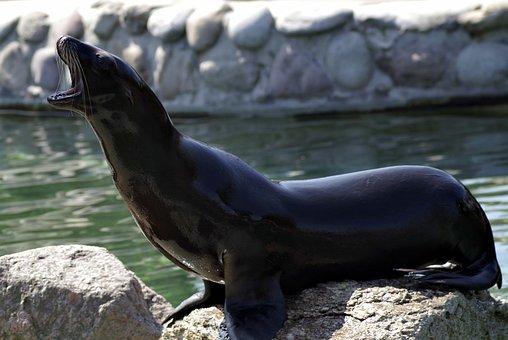 Sea lion, Animal, Foka, Black, Marine, Water, Mammal