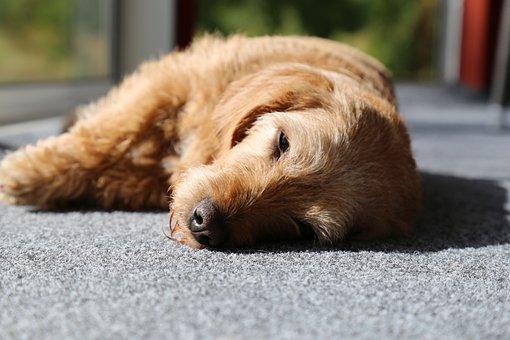 Dog, Basset, Pets, Solar, Tired, Eyes, Nos, Brown, Rest