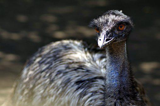 Emu, Ostrich, Bird, Beak, Pen, Zoo, Feathers, Feb