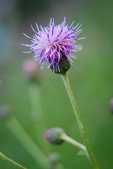 Thistle, Plant, Prickly, Purple, Pink, Purple Flower