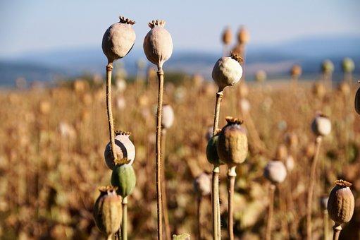 Poppyhead, Poppy Field, Flowering, Poppy, Fetus, Summer