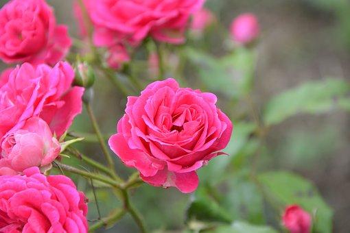 Roses, Rosebush, Green Leaves, Flower, Nature