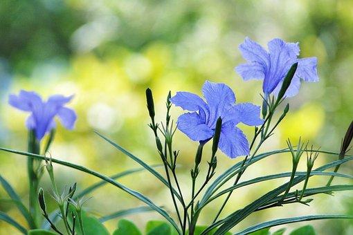 Flower, Cui Lu Li, Ruellia Coerulea, Britton Ruellia