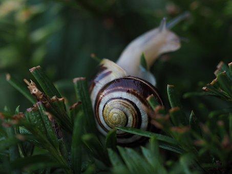 Snail, Garden, Shell, Mollusk, Animal, Nature, Slowly