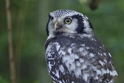 Sowa, Pharaoh Eagle Owl, Long-tailed, Bird, Wild