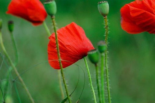 Poppies, Green, Stems, Red, Flower, Poppyhead, Grass