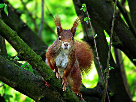 The Squirrel, Mammal, Tree, Ruda, Basia, Nuts