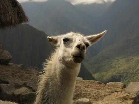 Alpaca, Lama, Camel, Machu Picchu, Funny, Wink, Peru