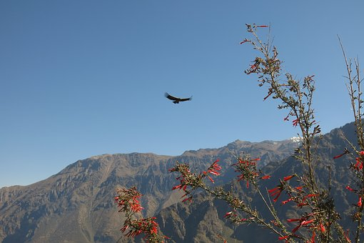 Andean Condor, Colca Canyon, The Cross Of The Condor