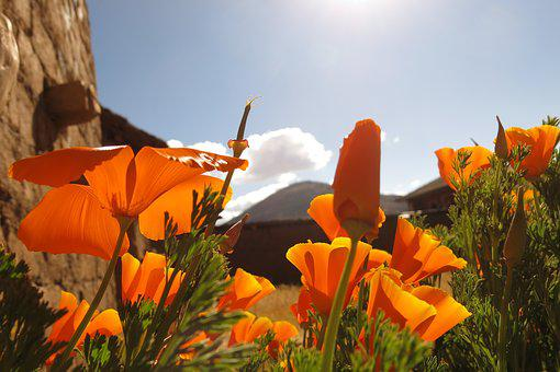 Andenmohn, Sky, Bloomed Orange
