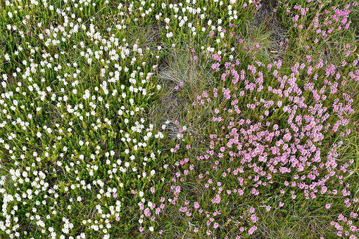 Mountain Flowers, Wild Flowers, Alpine Flowers, Blossom