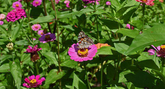 Great Spangled Fritillary Butterfly, Zinnia, Butterfly