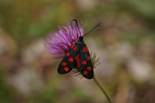 Butterfly, Variable Rotwidderchen, Zygaena Ephialtes
