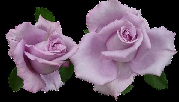 Rose, Mauve, Cut Out
