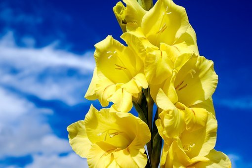 Gladiolus, Flower, Blossom, Bloom, Bloom, Bright