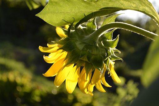 Sunflower, Flower, Yellow Flower, Summer, Nyárutó