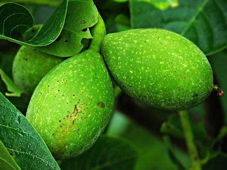 Walnut, Tree, Nuts, Nature, Foliage, Green, Fruit