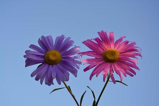 Flowers, Pink, Violet, Petals, Nature, Plant, Fushia
