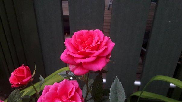 Ros, Roses, Pink, Flower, Flowers, Garden, Pink Rose