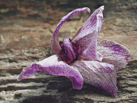 Faded, Blossom, Bloom, Orchid, Withered, Macro