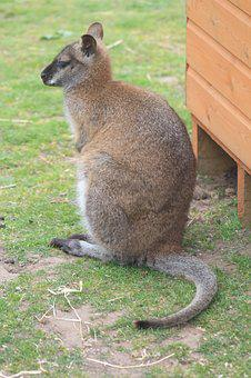 Wallaby, Animal, Wildlife, Nature, Mammal, Australia