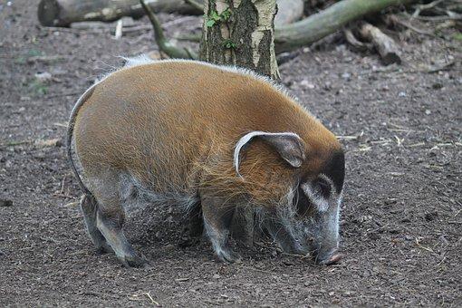 Red River Hog, Pig, Wild, Mammal, Wildlife, Nature