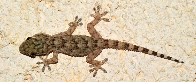 Gecko, Tarentola Mauritanica, Reptile, Lizard