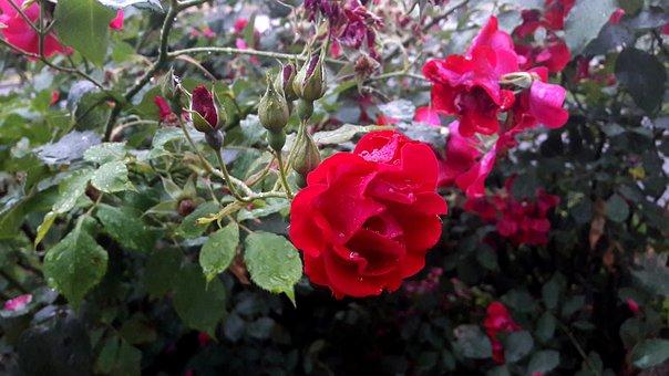 Ros, Roses, Red, Flower, Flowers, Garden, Red Rose