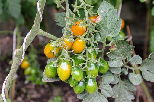 Tomatoes, Tomato Plant, Cultivation, Self Catering
