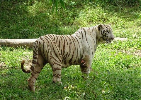 Tiger, White Tiger, Cat, Animal, Wildlife, Wild, Feline
