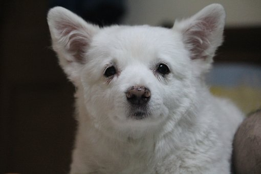 Staring, Puppy, Adorable, Funny, Animal, Canine, White