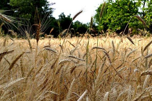 Nature, Wheat, Field, Food, Agriculture, Farm, Grain
