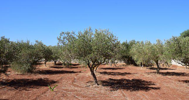 Olive Trees, Field, Tree, Agriculture, Olive Grove