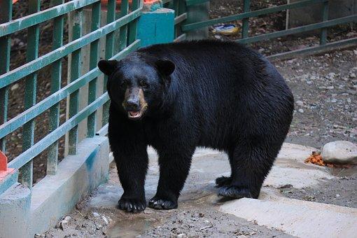 Black Bear, Black, Bear, Large, Strong, Animal, Mammal