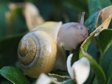 Snail, Garden, Shell, Animal, Mollusk, Slowly, Nature