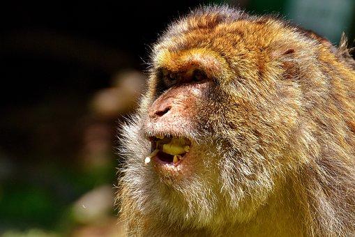 Ape, Barbary Ape, Endangered Species