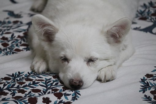 Pet, Dog, Puppy, Cute, Canine, White, Mammal, Domestic