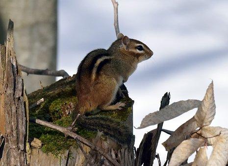 Animal, Chipmunk, Rodent, Sitting, Stump
