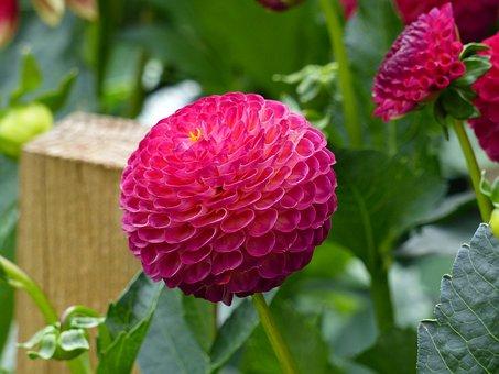 Pompom, Dahlia, Flowers, Tubers, Summer, Garden, Colors
