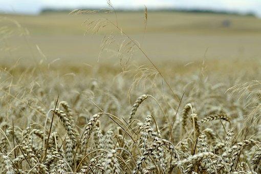 Corn, Field, Ears, Harvest Festival, Village
