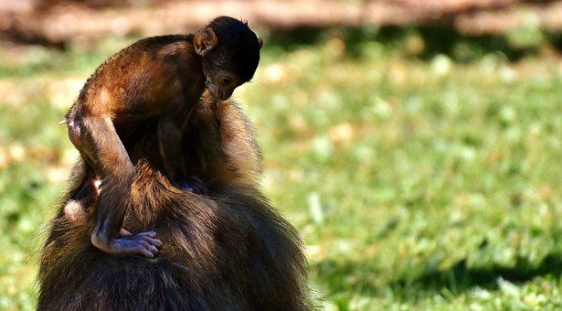 Ape, Baby Monkey, Barbary Ape, Endangered Species