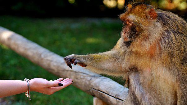 Ape, Baby Monkey, Eat, Feed, Barbary Ape